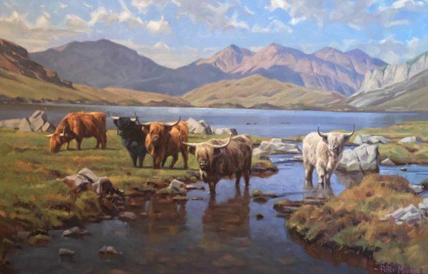 peter munro Highland Cattle (1)